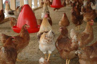 chicken-coop-245745_640