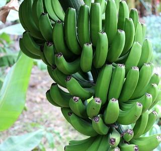 banana-shrub-1628219_640