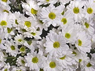 chrysanthemum-982750_640