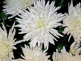 chrysanthemums-1038285_640.jpg
