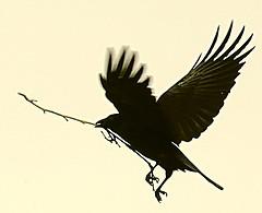 カラス 鳥