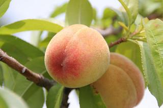 桃 果物 食